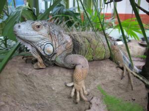 Iguana at Ponderosa Centre