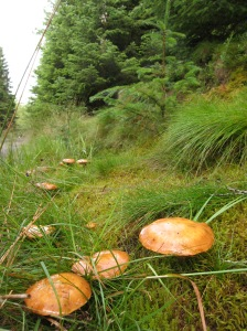 Peppery Boletus mushrooms in Glentress forest
