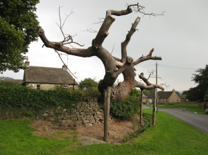 Redmire Oak