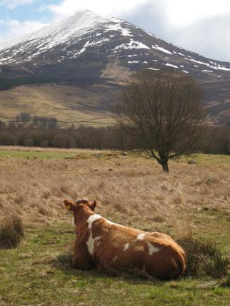 Beef shorthorn cow admires Schiehallion
