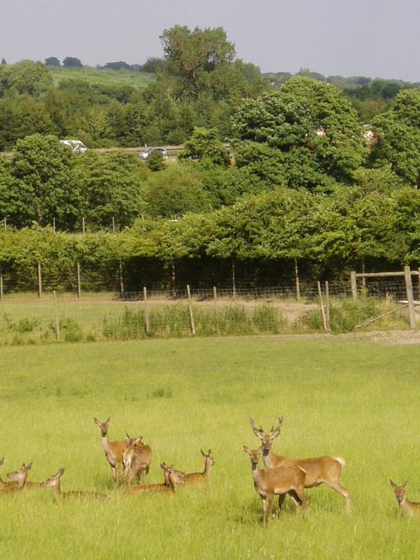 Deer at Round Green Farm