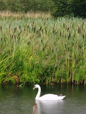 Swan at Fairburn Ings Nature Reserve