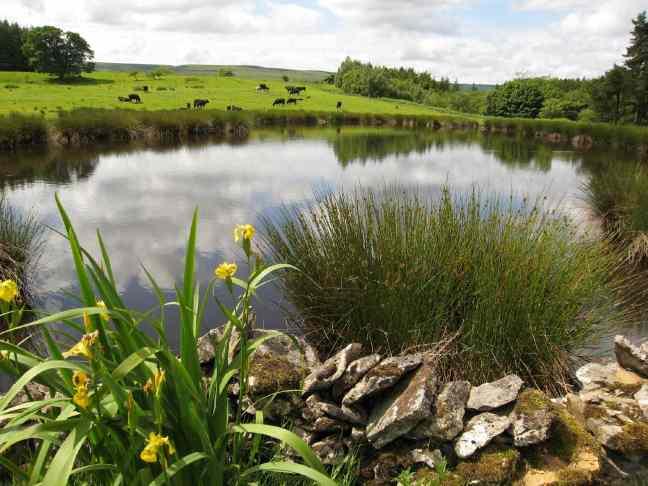 Pond near Scargill